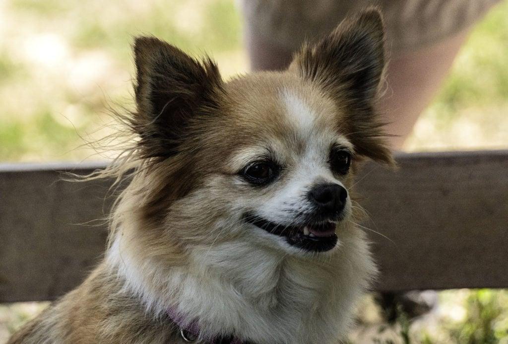 Headshot des Kopfes eines Chihuahuas in der Hundefotografie