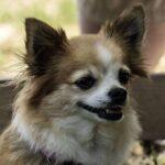 Kopf eines besch-weissen Chihuahuas als Aufmacherbild für Hundefotografie