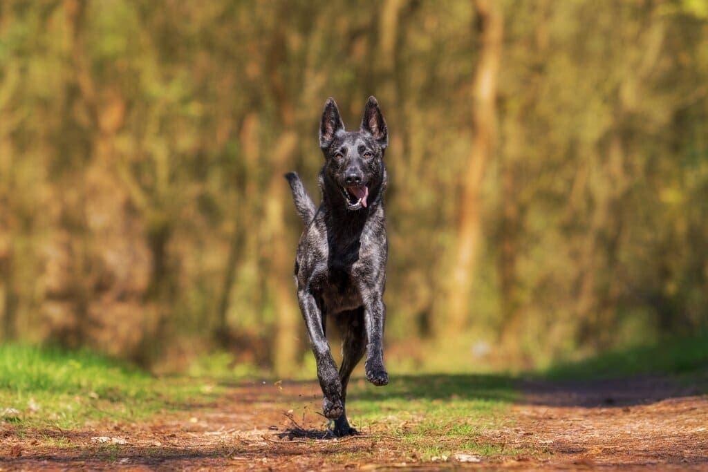 Freigestellter Holländischer Schäferhund in vollem Lauf in der Hundefotografie
