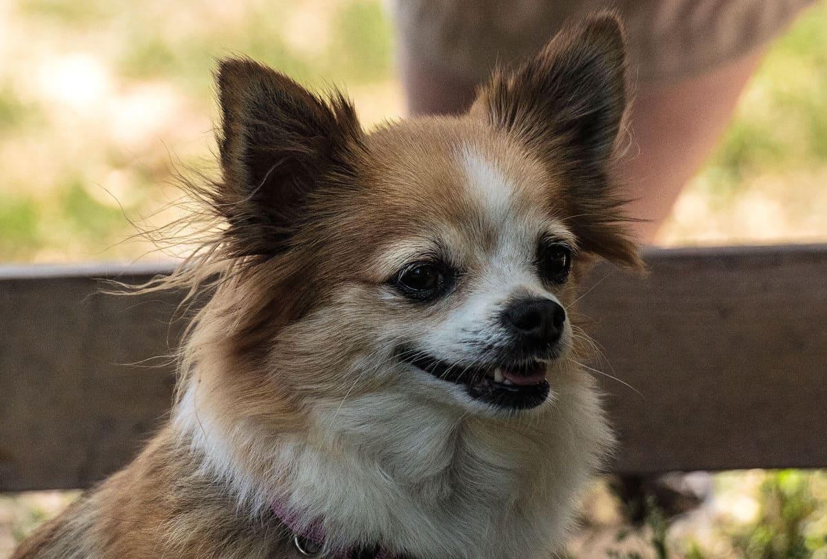 Canon EF 50mm f/1.8 STM in der Hundefotografie: Kopf eines besch-weissen Chihuahuas