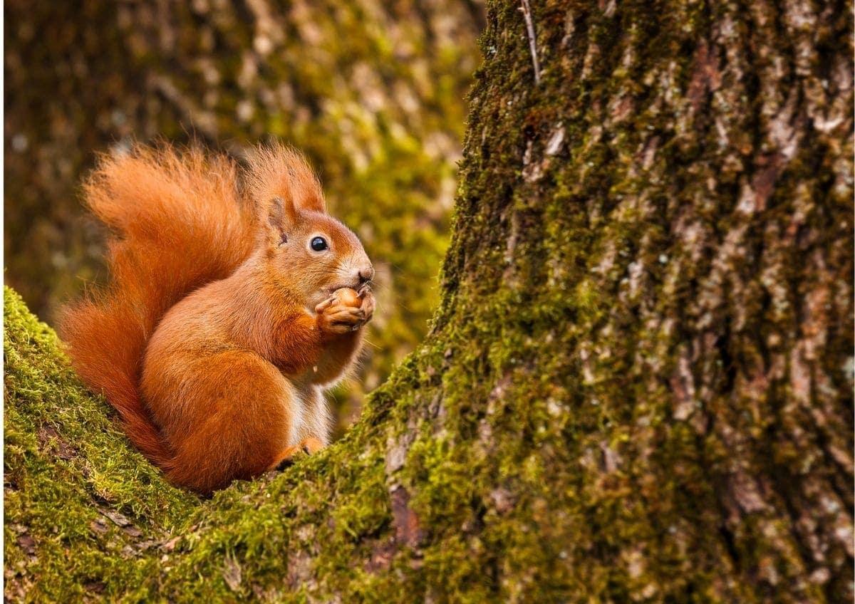 Ein Eichhörnchen mit einer Nuss in den Vorderpfoten sitzend auf einer Astgabel im Wald als tolle Fotoidee für den Herbst