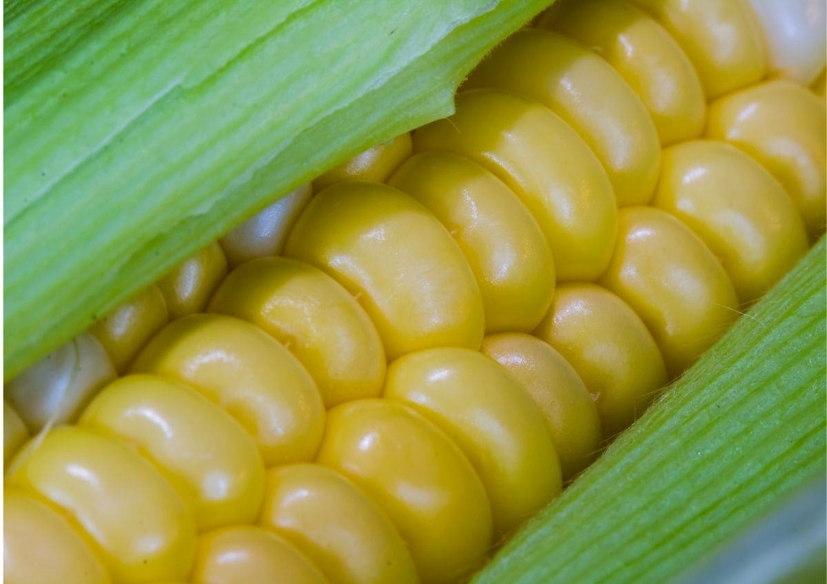 Detailaufnahme eines Maiskolbens als Fotoidee für den Herbst